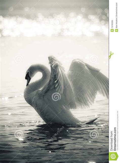 Graceful Swan On A Lake In Black And White Royalty Free