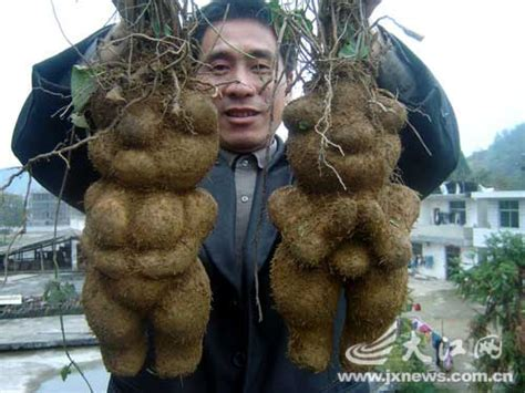 Funky roots He shou wu at Ask Barefoot Herbalist, with